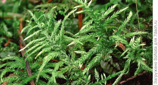 Циррифиллум волосконосный (Cirriphyllum piliferum)