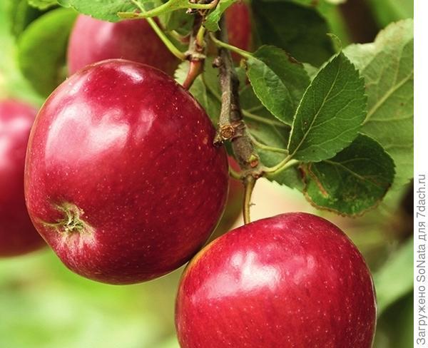Сорт яблони Гала Шнига