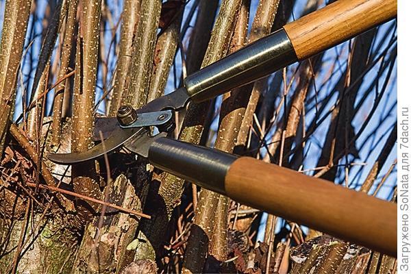 Если лещину вообще не обрезали, ей необходима радикальная стрижка. В этом случае все ветви укорачивают до полуметровой длины.