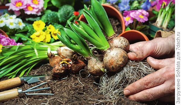 Если планируется и в дальнейшем выращивать растение как контейнерное, то луковицы и клубни можно сразу высаживать на постоянное место (в объемный горшок) в питательную почвосмесь и ухаживать за ним в соответствии с требованиями конкретного вида и сорта.