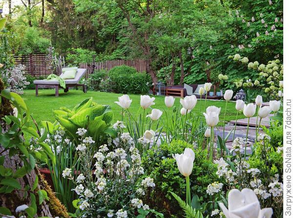 Весной сияют снежной белизной тюльпаны и желтушник.