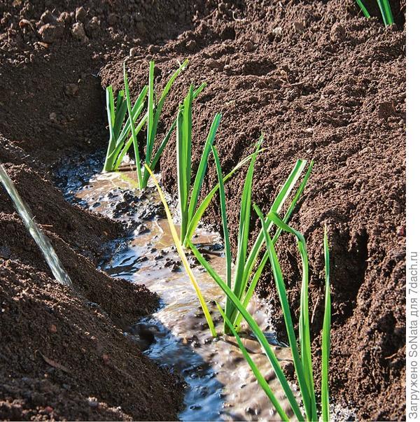 При поливе струей смывайте землю к растениям, чтобы она постепенно прикрывала стебли