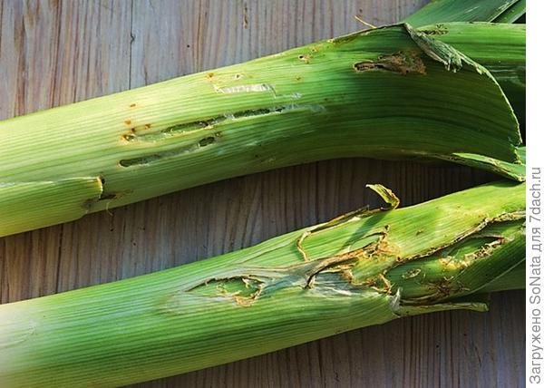 Луковая моль - злейший враг всех луковичных растений. Личинки поселяются внутри стеблей.