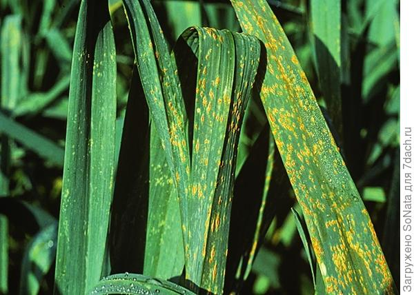 Ржавчину можно опознать по желто-коричневым пятнам на листьях