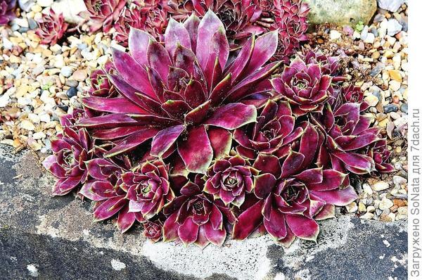 Гравийные садики с суккулентными растениями - прекрасная возможность быстро и эффектно преобразить территорию.