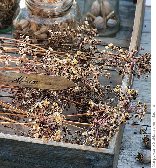 При высыхании цветки раскрываются, высвобождая семена