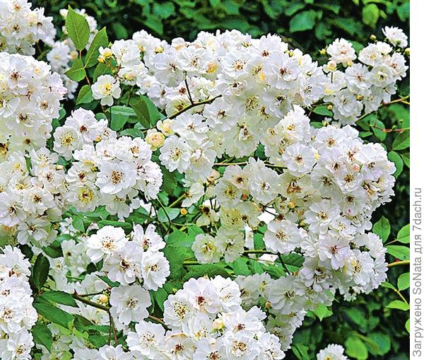 Плетистая роза Guirlande d'Amour