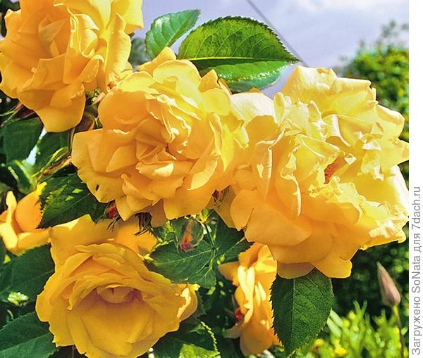 Плетистая роза Dukat
