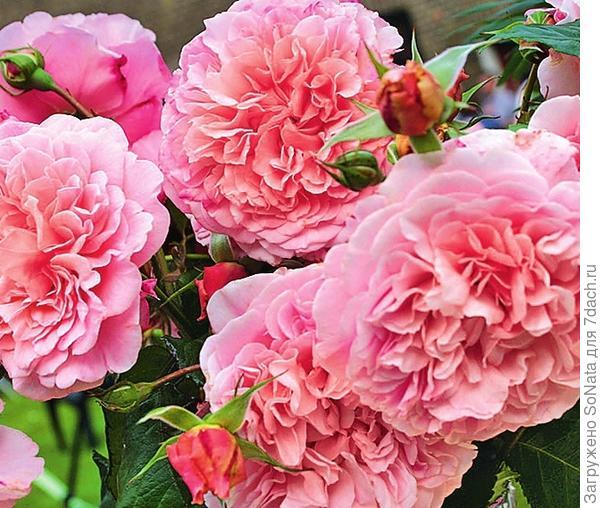 Плетистая роза Rose de Tolbiac