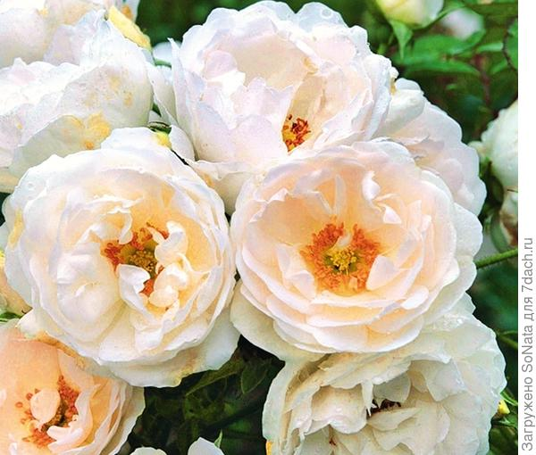 Плетистая роза Hella