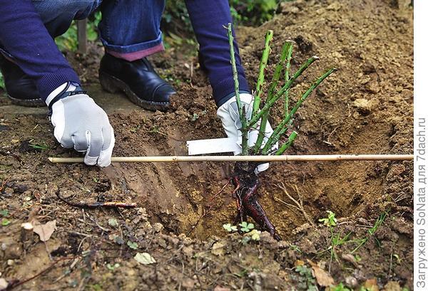 Выкопайте посадочную ямку, она должна быть такой глубины, чтобы корни не ломались и не загибались. Затем поставьте саженец на земляной холмик, сделанный в яме, и расправьте по нему корни растения.