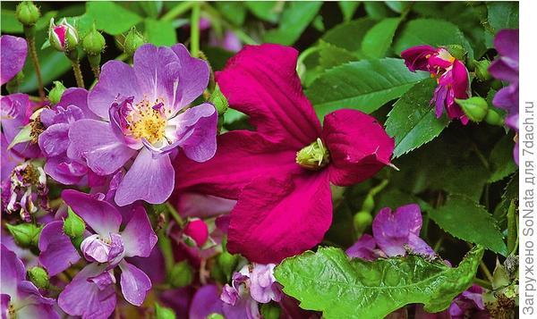 Популярный однократно цветущий рамблер Veilchenblau встал в пару с клематисом фиолетовым Madame Julie Correvon