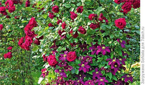 Красочный дуэт плетистой розы английского сорта Crimson Shower и клематиса Victoria выглядит очень ярко