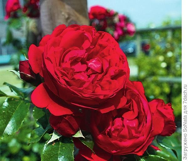 Плетистая роза сорт Florentina