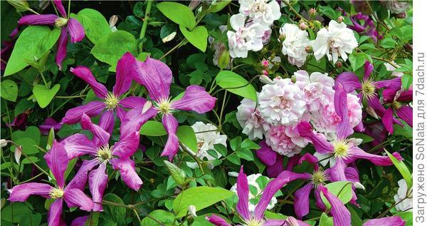 Крупные цветки клематиса фиолетового Margot Koster по тону прекрасно сочетаются с ароматными мелкими розочками Guirlande Rose.