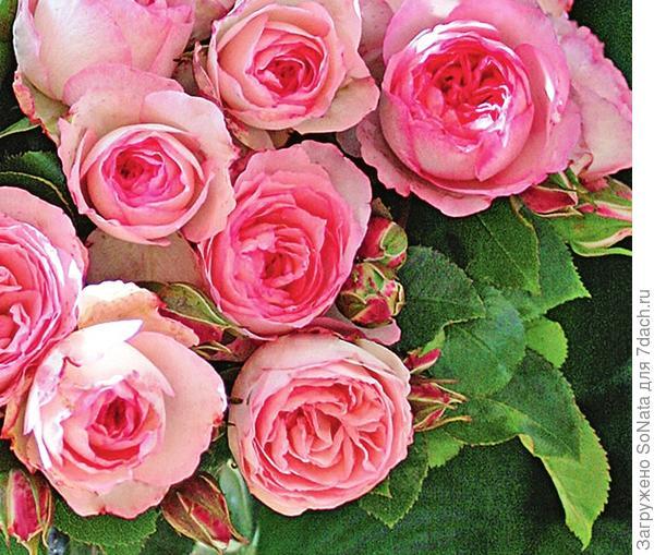 Плетистая роза сорт Mini Eden Rose
