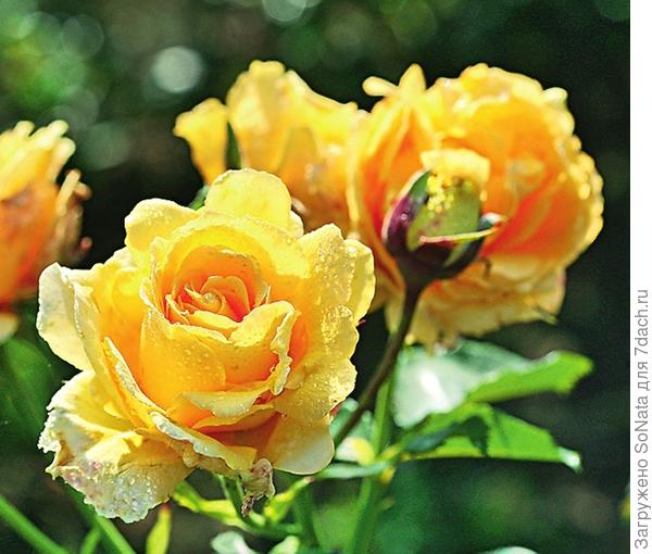 Плетистая роза сорт Sommergold