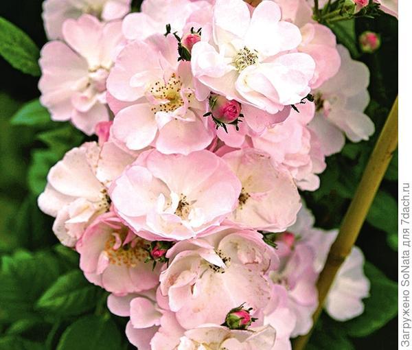 Плетистая роза сорт Perennial Blush