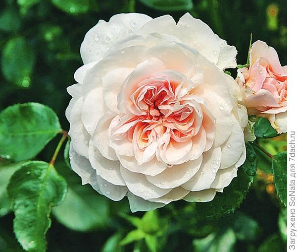 Плетистая роза сорт Sabrina