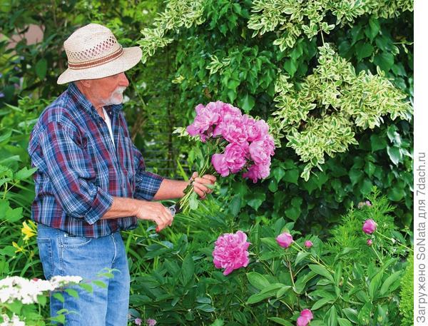 Совет по обрезке: как только полураспустившиеся цветки приобретут яркую окраску, их можно срезать и поставить в вазу - так они простоят до десяти дней.