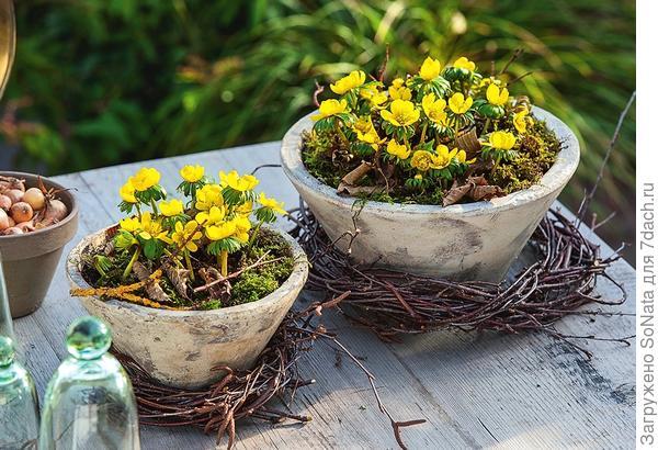 Весенники отлично растут в горшках. Прикройте субстрат мхом и декорируйте простыми венками, например, из березовых веток.