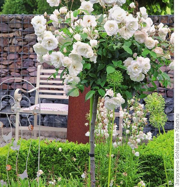 Когда цветет штамбовая роза Schneewittchen, от нее просто невозможно оторвать глаз. Особенно эффектно этот кустарник смотрится на пересечении оптических осей. Получается видовая точка.