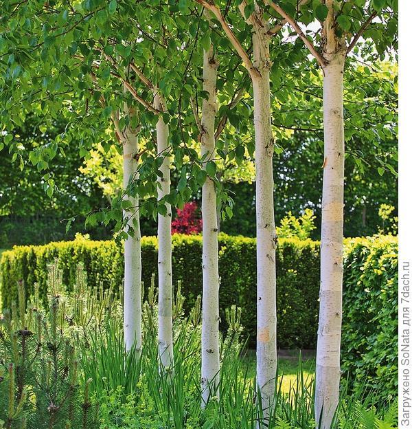 Мини-аллея из берез с красивыми белыми стволами наметит пространственную перспективу в саду и придаст глубину пространству.