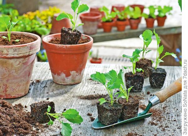 Кольраби - одна из самых скороспелых овощных культур. Благодаря этой особенности ее можно высаживать в несколько этапов и собирать урожай на протяжении всего дачного сезона.