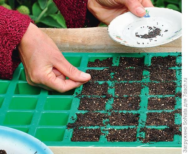Высевать кольраби на рассаду можно в конце марта.