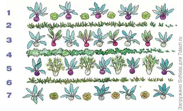 Кольраби стоит выращивать в смешанной культуре, поскольку рядом с некоторыми растениями она развивается лучше.