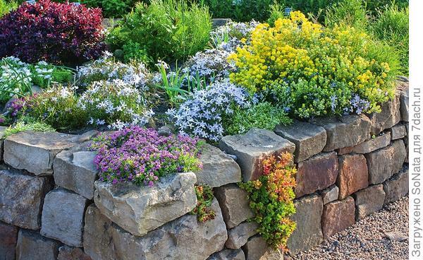 В приподнятом цветнике со стенками сухой кладки органично смотрятся подушковидные растения, например флокс шиловидный и бурачок. В швах между камнями можно посадить молодило и подобные ему растения.