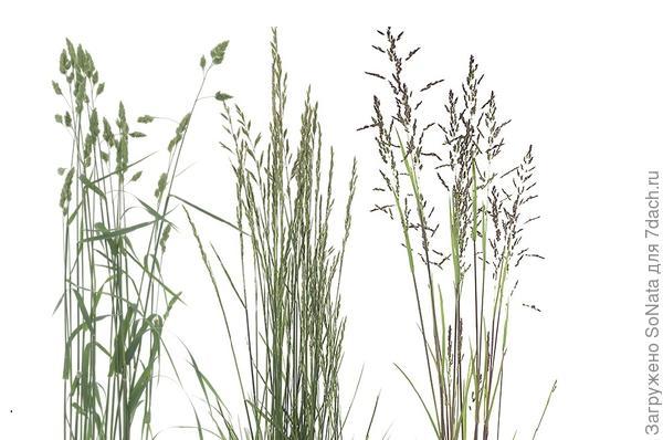 Злаковые травы для газона выбирайте из тех, что подходят для вашего климата