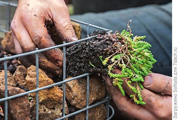 Растения, например очиток едкий, аккуратно проденьте сквозь решетку и посадите.