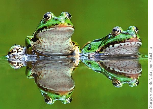 Прудовых лягушек круглый год можно видеть в облюбованном ими водоеме