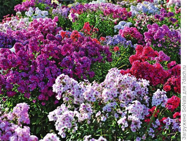 Название этого необычайно декоративного нежного цветка переводится с греческого как пламя.