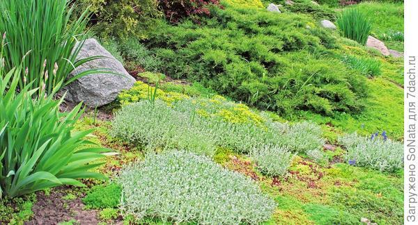 Нетравяной газон можно вырастить не только из почвопокровных, но и из хвойных растений