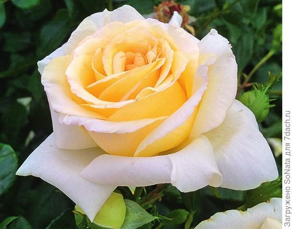 У Anastasia белые благоухающие цветки, кремово-желтые по центру
