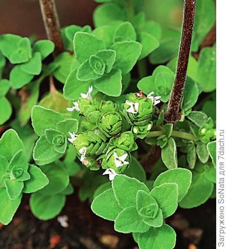 Итальянская душица (Origanum x majoricum), гибрид душицы и майорана