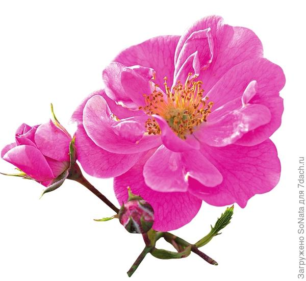 Почвопокровная Bienenweide Rosa
