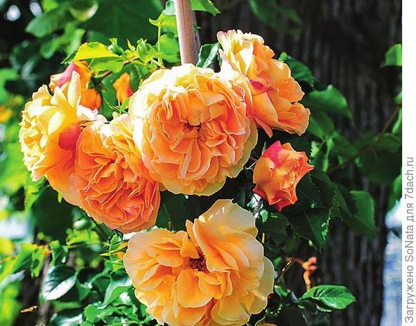 Плетистая роза Lizzy