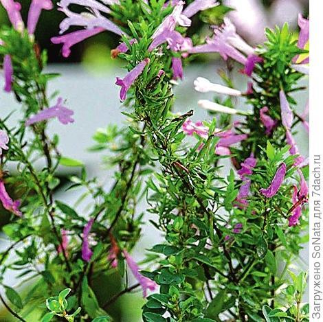 Мексиканская душица (Poliomintha longiflora)