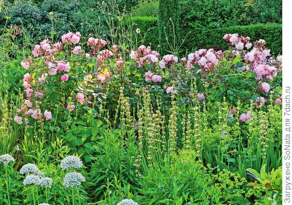 В качестве свиты королевы выступают голубоглазка (Sisyrinchium) и лук черный (Allium nigrum) с белыми соцветиями-шарами.