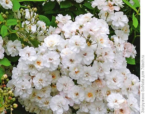 Плетистая роза Moscalbo