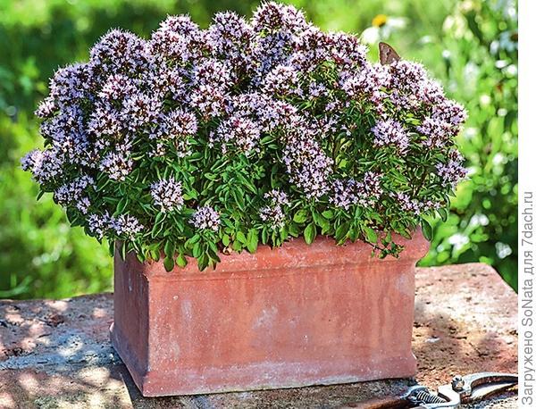 Карликовая душица обыкновенная (Origanum vulgare) Compactum