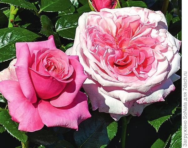 Comeback отличается ароматными цветками и здоровыми блестящими листьями