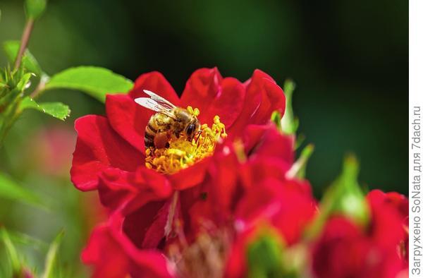 Нектар и пыльца в блюде из ярких лепестков - приманка для тружениц пчелок.
