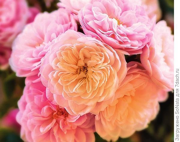 Плетистая роза Alina