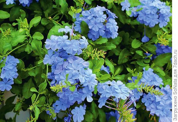 Какой удивительный пастельно-синий оттенок у цветков свинчатки ушковидной!