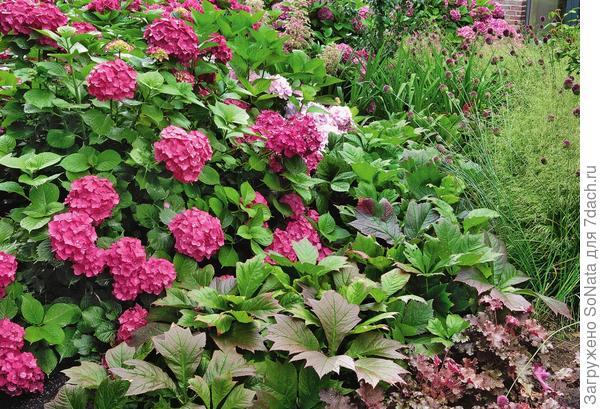Игра красок: красноватые листья роджерсии стополистной (Rodgersia podophylla) сорта Rotlaub прекрасно гармонируют с гортензией, декоративным луком и гейхерой.