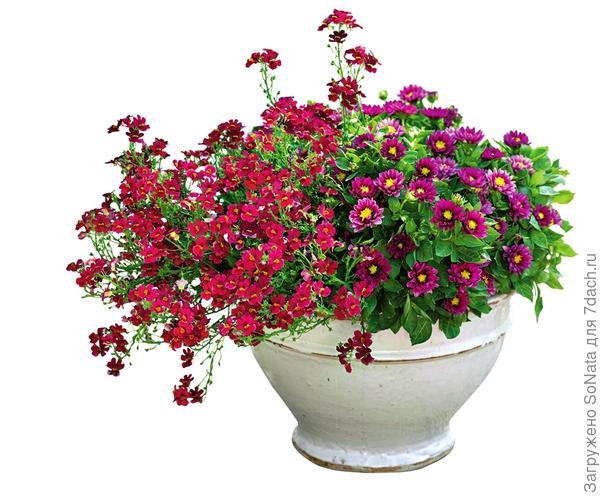 Темно-фиолетовые цветки карликовой георгины и красные звездочки немезии зобовидной Blackberry похожи на сочные спелые ягоды.